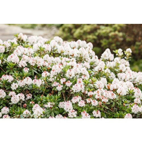 Rhododendron micranthum Bloombux  -R-