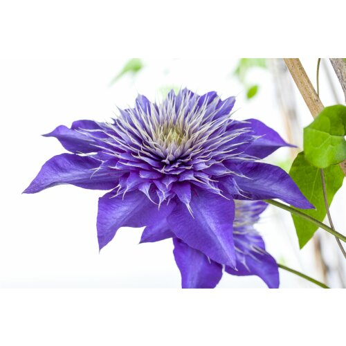 Clematis Hybride Multi Blue