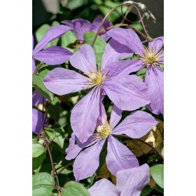Clematis Hybride Mrs.Cholmondeley