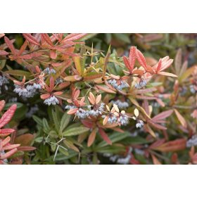 Berberis julianae C 40-  50