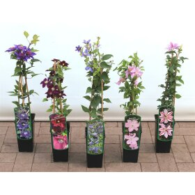 Clematis Hybride Honora 2L 40-  60