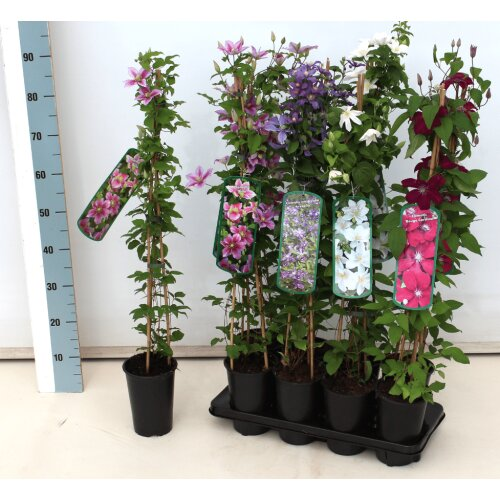 Clematis Hybride Ice Blue 2L 60- 100
