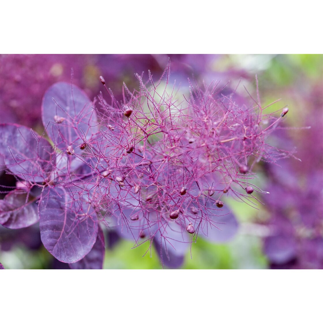 Cotinus coggygria Royal Purple C 5 60-  80