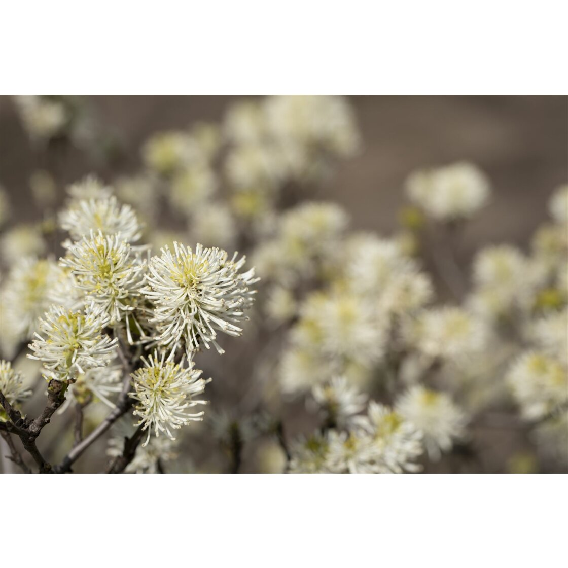 Fothergilla major 7,5 L 40-  50