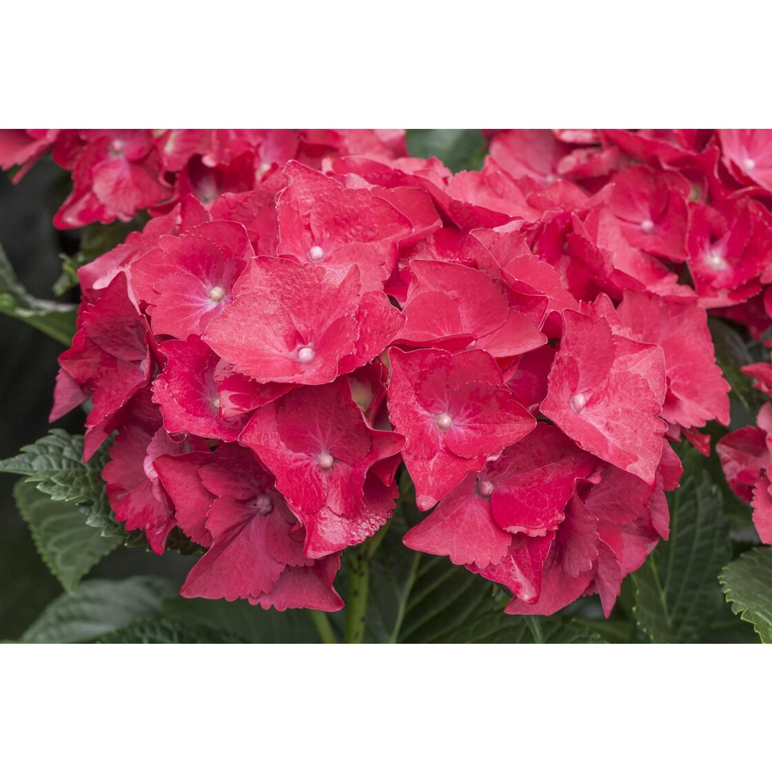 Hydrangea mac. Hot Red C 30-  40