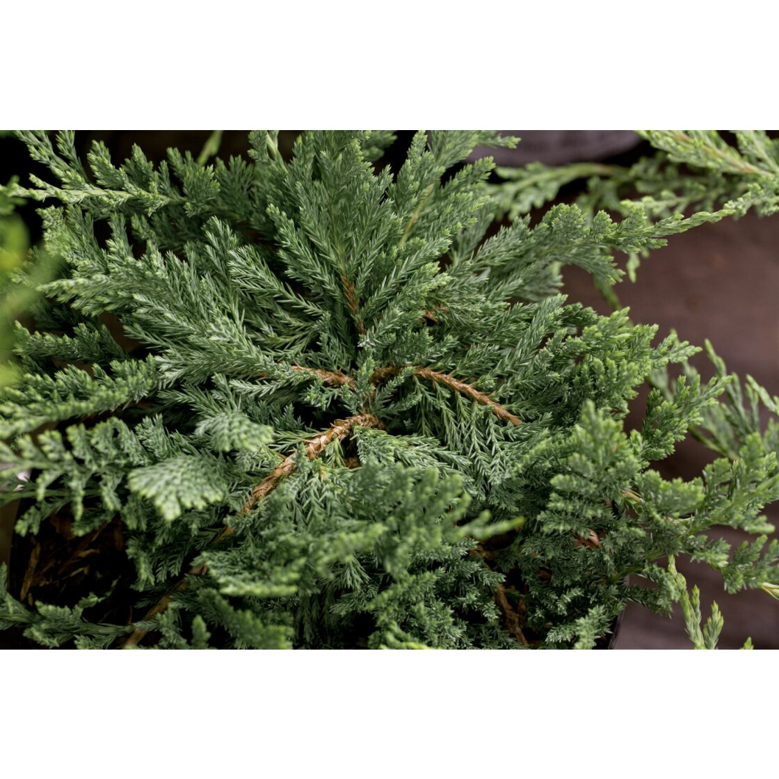 Juniperus horizontalis Blue Chip 5L 25-  30