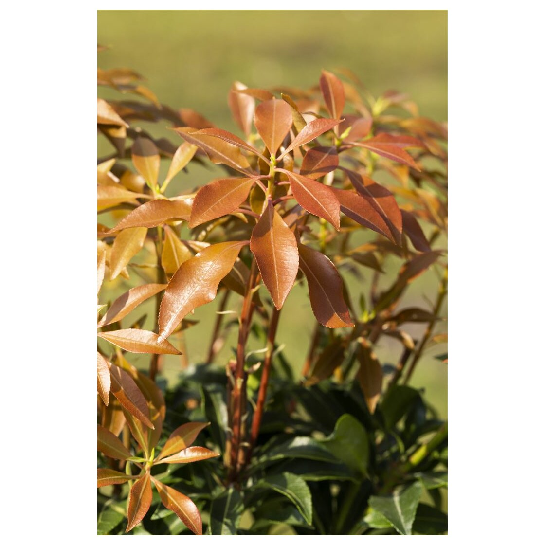 Pieris japonica Mountain Fire 2L 20-  25